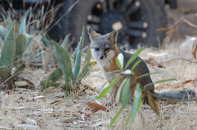 The Santa Catalina Island Fox
