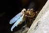molting cicada 3