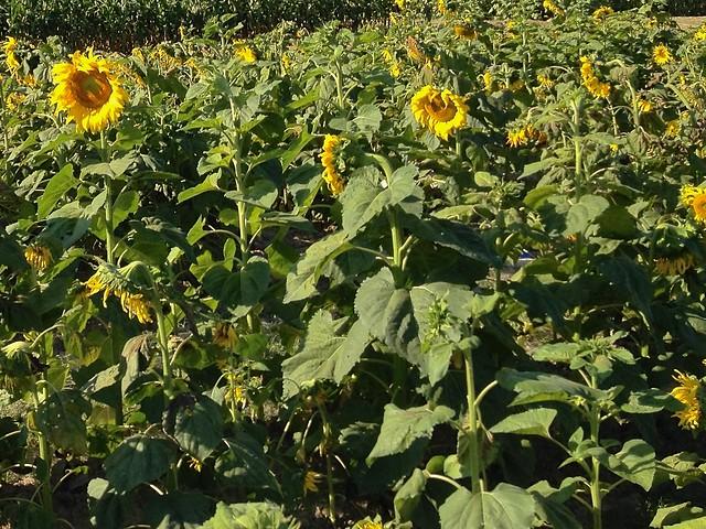 Flower Fields at Chiang Mai University