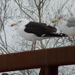 Great Black-backed Gull
