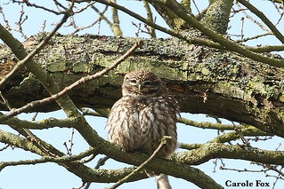 Little Owl all fluffed up