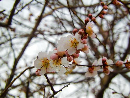 臥竜梅(西公園2014/3/26)