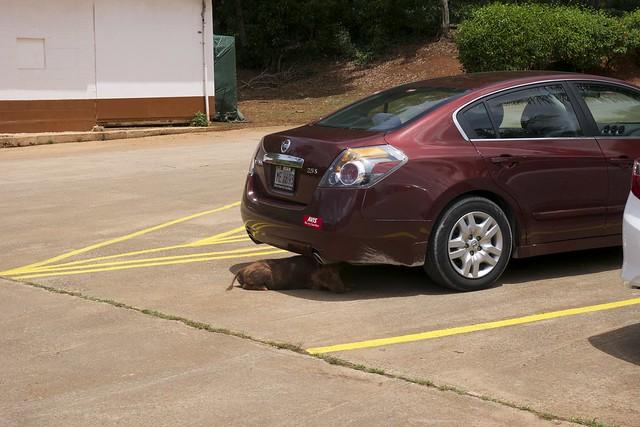 Pig under my car