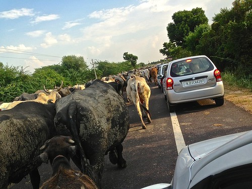 Cows have the right of way on this road