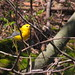 Prothonotary Warbler, Prospect Park 4.26.14
