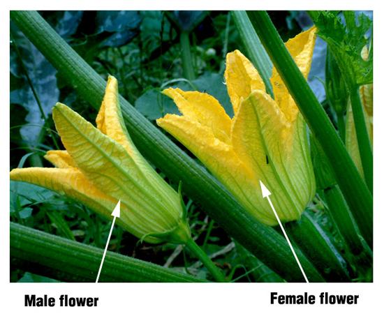 zucchini-blossom-male-female