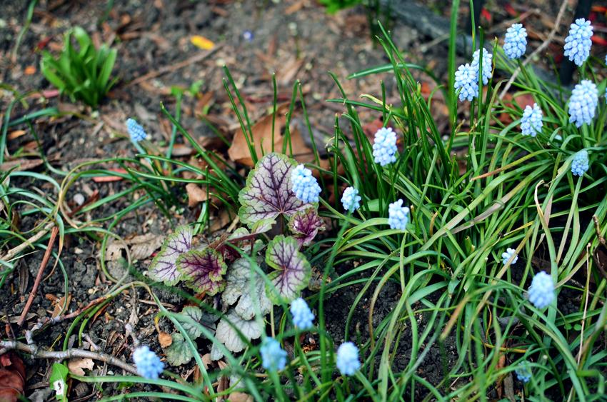 blue planties