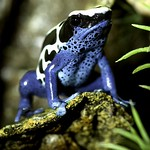Dyeing Poison Arrow Frog