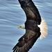 Banking Eagle (20140513-195124-PJG) by DrgnMastr