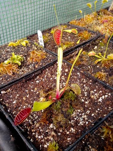 """Dionaea """"Eyelashes"""" et """"Biohazard"""" 14214061313_55aca05d06"""