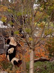 Panda circus