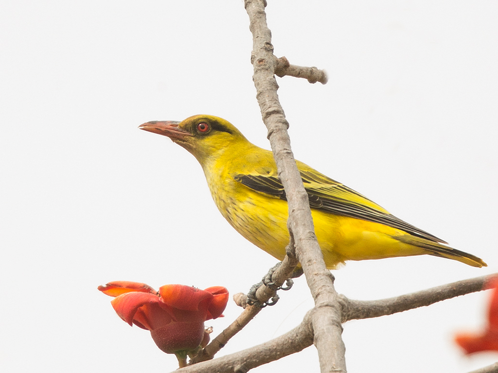 African Golden Oriole  Gambia