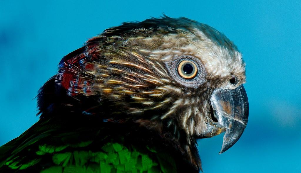 Red-fan Parrot (Deroptyus accipitrinus)_4