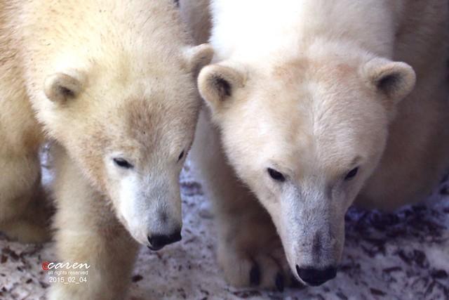 Eisbären Giovanna&Nobby 2015_02_04 109