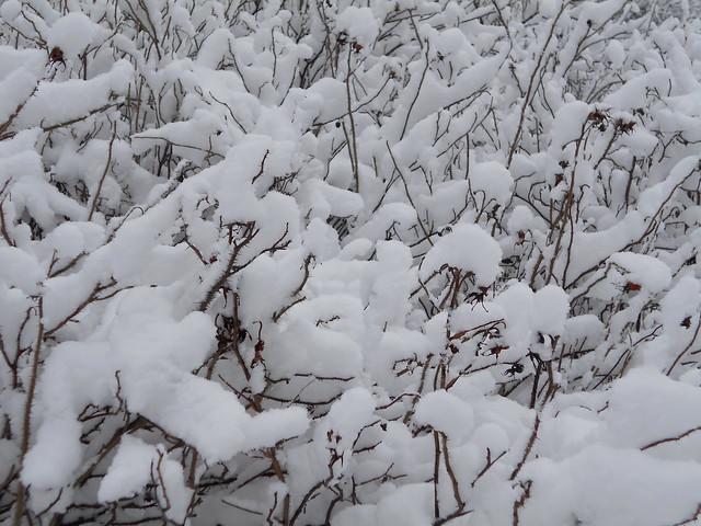 Luminen kurtturuusu (Rosa rugosa) Hämeenlinnassa 3.2.2015