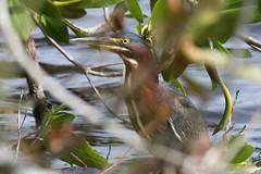 green heron IMG_1709a