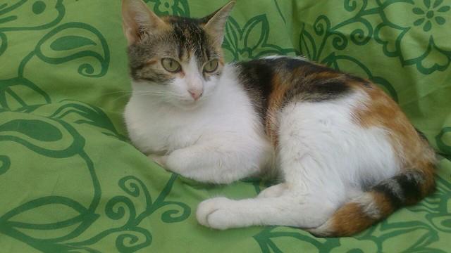 Birra, gatita tricolor muy guapa y dulce, esterilizada y nacida en Febrero'14 busca hogar, Valencia 16317118897_b067d96879_z