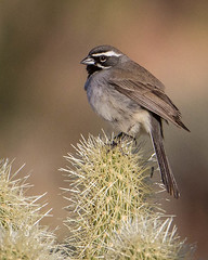 Black-throated Sparrow--Amphispiza bilineata