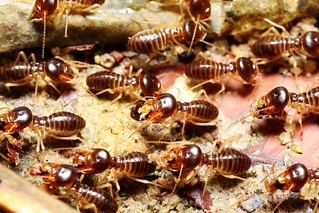 picture of termites in sugarland tx home-min