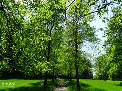 25. Mai 2016 - 13:29 - Der Tulpenbaum (Liriodendron tulipifera) ist eine in Nordamerika heimische Baumart der aus nur zwei Arten bestehenden Gattung Tulpenbäume aus der Familie der Magnoliengewächse (Magnoliaceae).Die Tulpenbaumallee in Memmingen Ferthofen in Oberschwaben ist ein Naturdenkmal. Der alte Teil der Baumallee wurde von Stadtkanzleidirektor und Herr über Schloss Illerfeld, Friedrich von Lupin, im Jahre 1828  gepflanzt.  Nachfahre, Freiherr Reinhold von Lupin, pflanzte 1980 – 1983 dreißig weitere Tulpenbäume.  Ein reizvoller Kontrast zwischen den neu gepflanzten und den knorrigen altenTulpenbäumen.