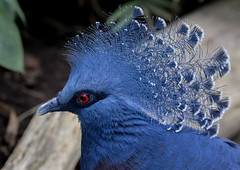 victoria crowned pigeon at twycross