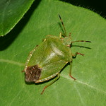 Palomena prasina (Common Green Shieldbug)