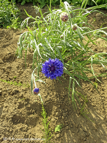 Gemüsegarten 2013 - Blume