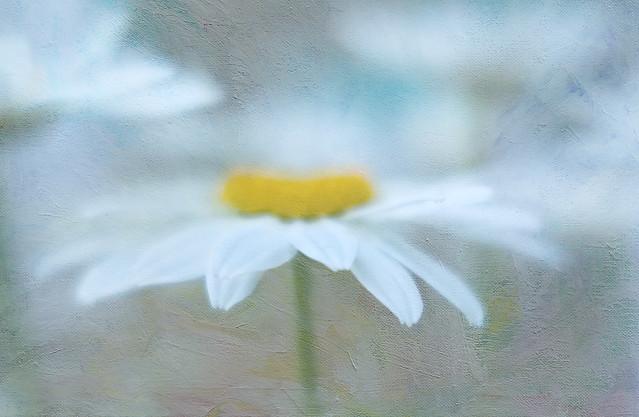 Daisy Days of Summer