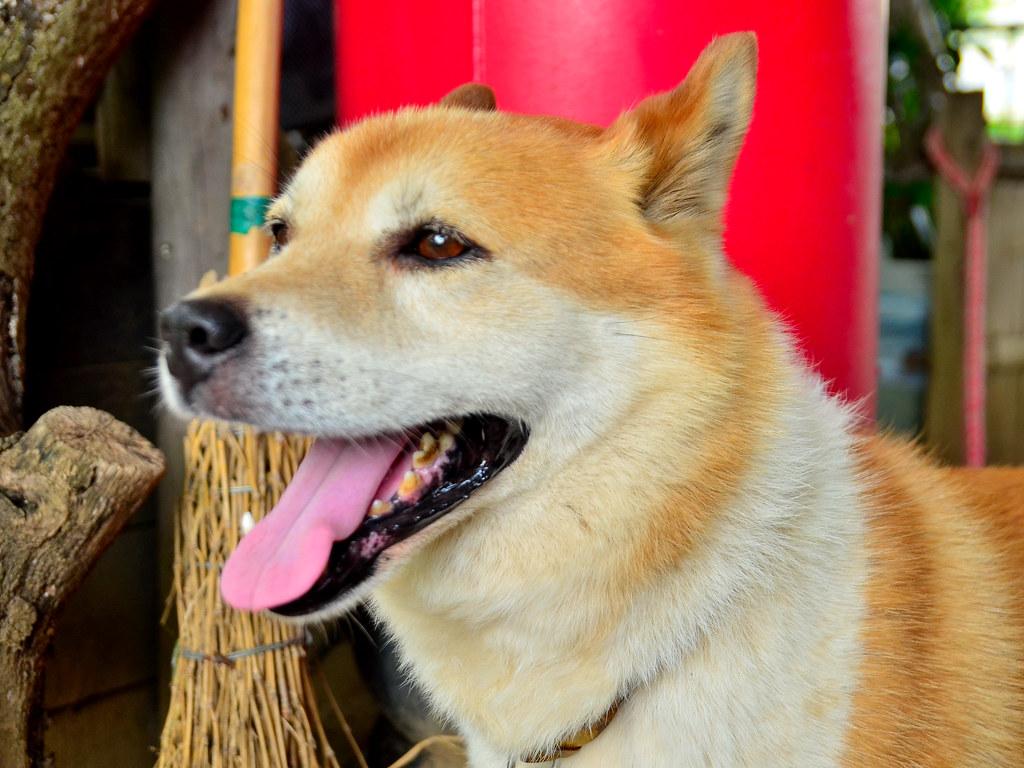 Japan Dog (hybrid) Bush Overjoyed! / 今日のブッシュは大喜び!