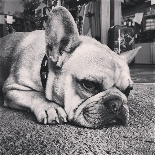 #frenchbulldog #pooch #instagood #harrystyles #cool