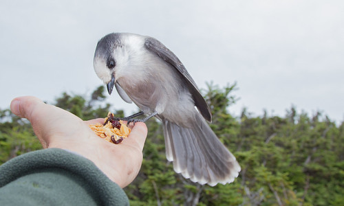 Beautiful Gray Jay by lotterhand