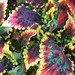 Small photo of Coleus Solar Flair