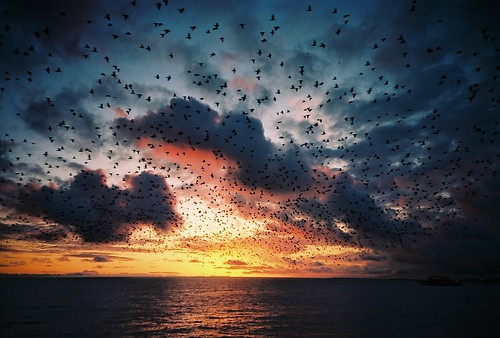 Starling Murmuration at Sunset