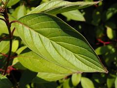 White Dogwood (Cornus alba)