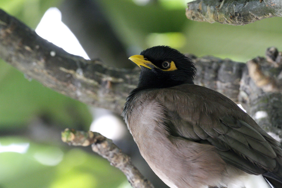 100513_11_commonMyna01