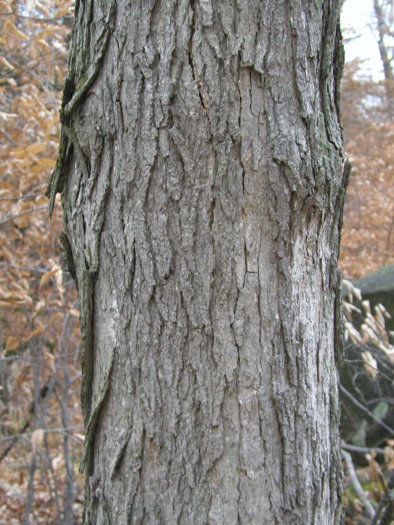 Acer Saccharum Bark Sapindaceae Aceraceae Acer Sacch Flickr