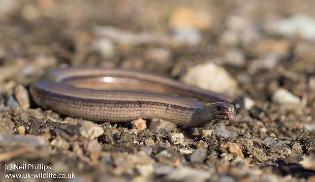 slow worm-3