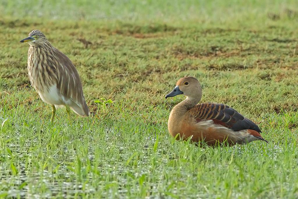 Lesser Whistling Duck Sri Lanka 2013-11-27