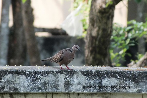 Ghugu (Dove)