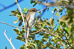 FL: LaSagra's Flycatcher