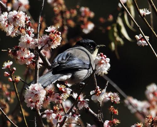 bird canon ngc vogel voegel birdwatcher wonderfulworld fbwnewbird blackheadedsibia eos7d hganimalsonly thephotographyblog heterophasiadesgodinsi