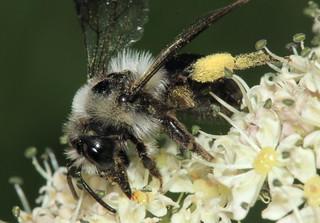 Andrena cineraria 19197