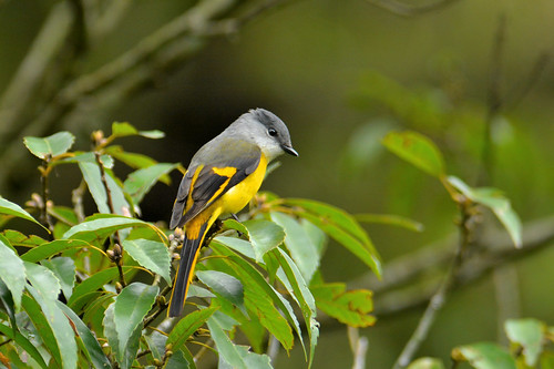 Gray-throated Minivet