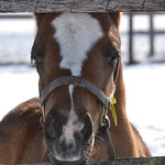 Ducky Mclean filly by Baltimore Bob