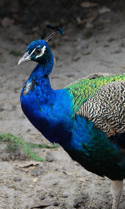Blue Hue Peacock