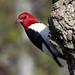 PI Red-headed Woodpecker 5914 (2) by maerlyn8