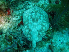 short tailed sting ray
