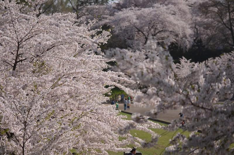 弘前さくらまつり festival of cherry blossoms at Hirosaki 2014年4月29日