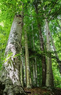 Arbres gravés dans une forêt, Sinaia, Roumanie