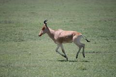 animal, antelope, springbok, mammal, hartebeest, fauna, grassland, safari, wildlife,